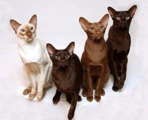 Питомник ориентальных кошек Altfaizer , заводчик Алиса Альтфайзер