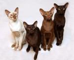 Питомник ориентальных кошек Altfaizer , заводчик Алиса Альтфайзер отзывы