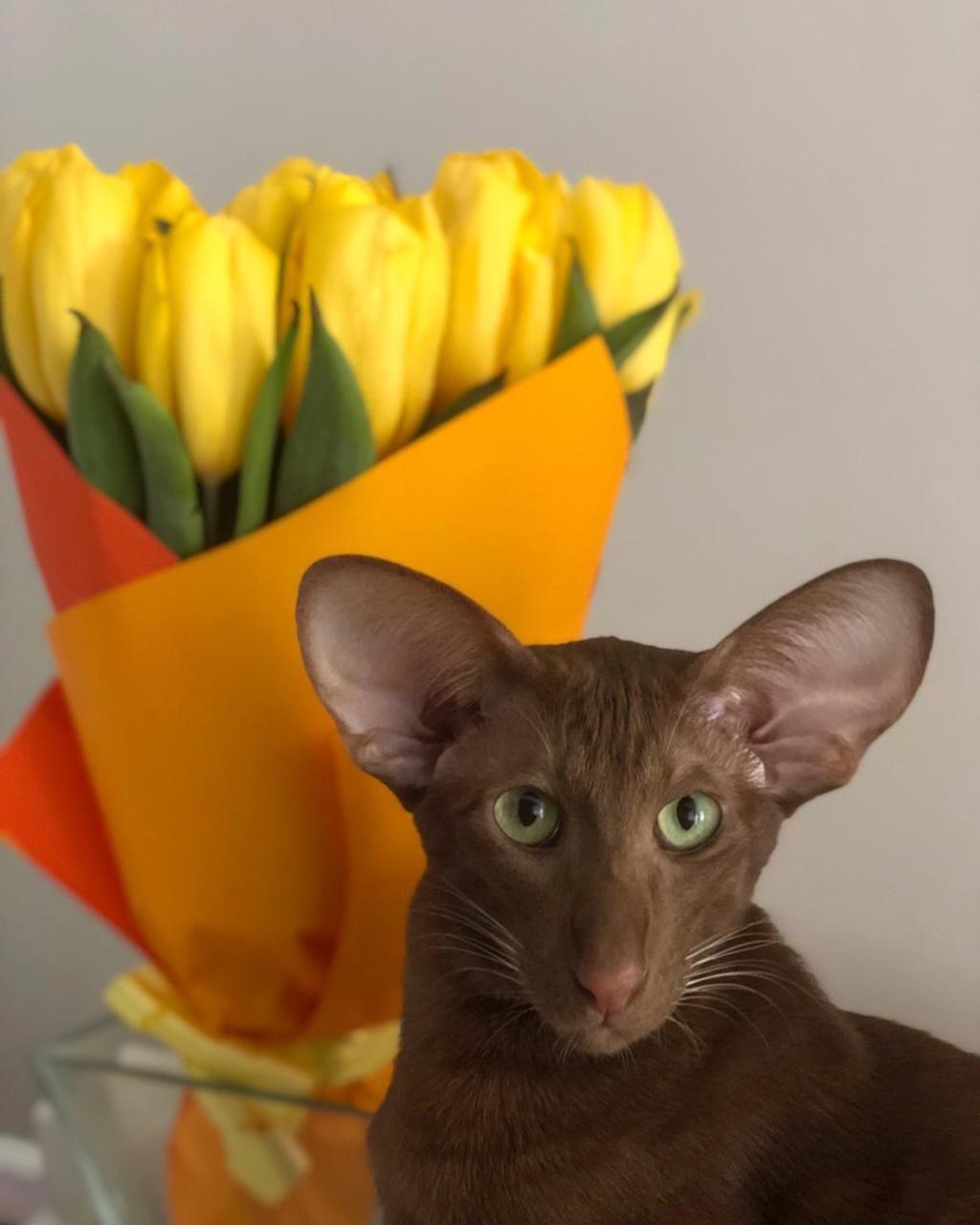 Питомник ориентальных кошек Altfaizer , заводчик Алиса Альтфайзер - просто и скромно Graff Altfaizer Kiss)))